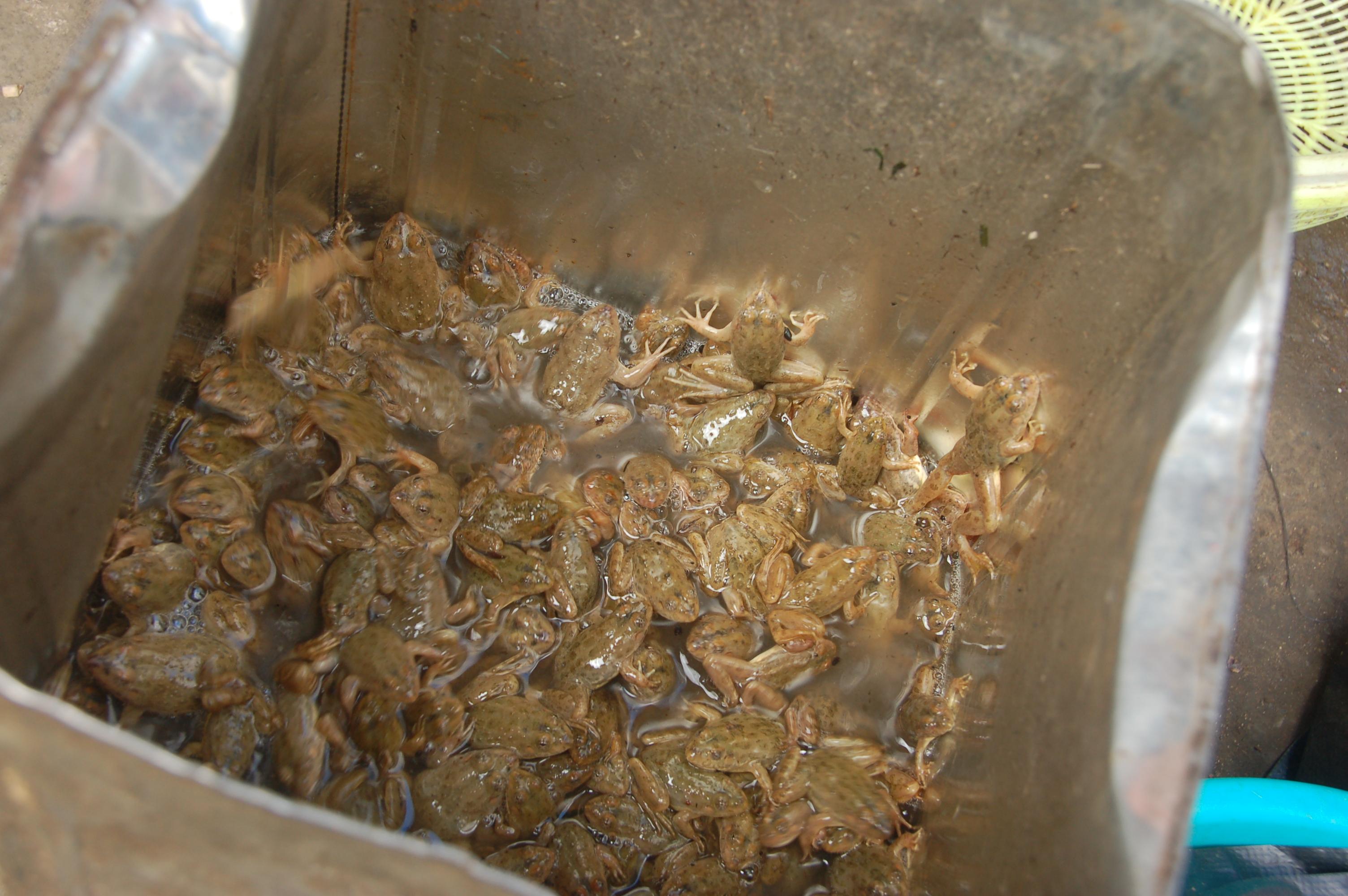 frogs in kohima market