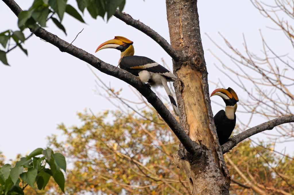 great hornbills in Manas